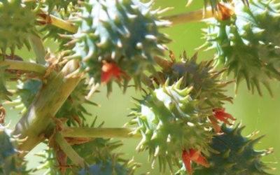 Les bienfaits de l'huile de Carapate, également appelée huile de Ricin, Palma Christy (PART 2/2)